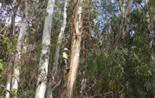 Lakeville Highway Eucalyptus Tree Trimming